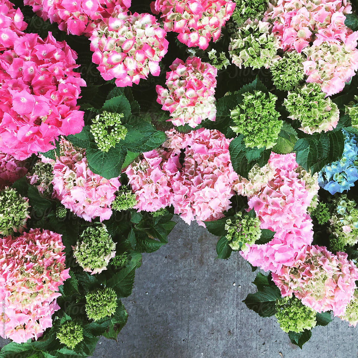 Pink And Green Hydrangeas At A Flower Market Stocksy United