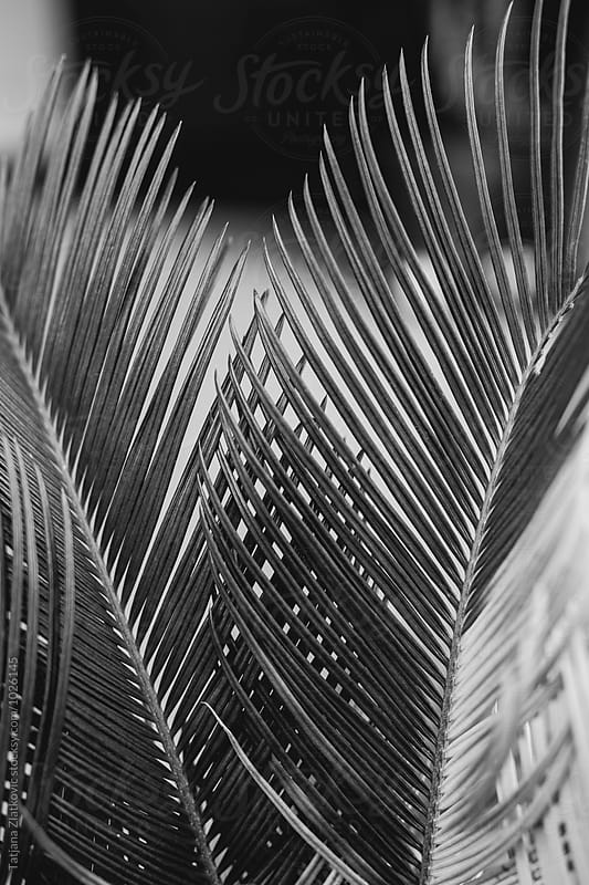 Palm tree by Tatjana Ristanic for Stocksy United