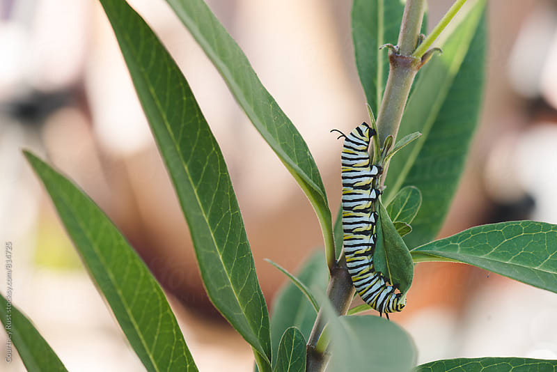 stripes on the milkweed by Courtney Rust for Stocksy United