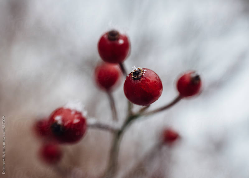 close up of red berries in snow  by Deirdre Malfatto for Stocksy United