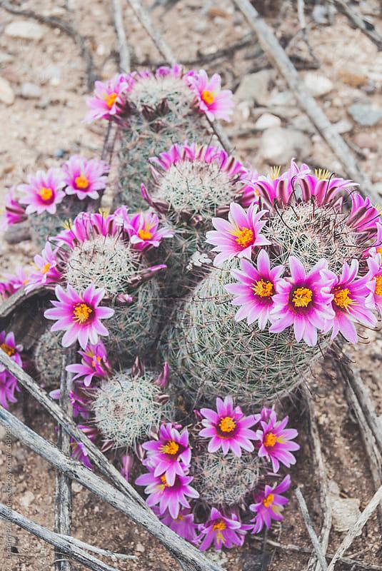 Pink Cactus Flowers by Tamara Pruessner for Stocksy United