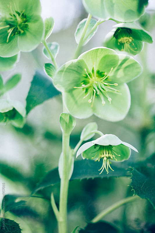 Helleborus plant floweing in garde, close-up by Laura Stolfi for Stocksy United