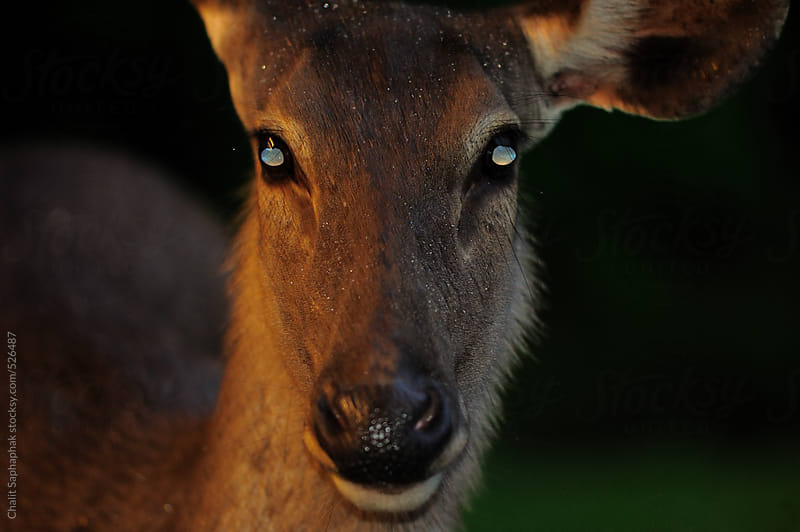 Deer by Chalit Saphaphak for Stocksy United