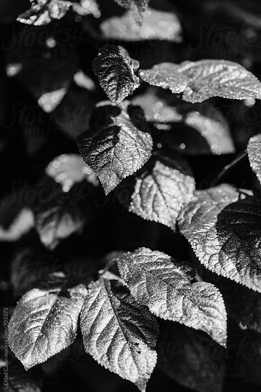 Black & White Metallic Foliage by Eldad Carin for Stocksy United
