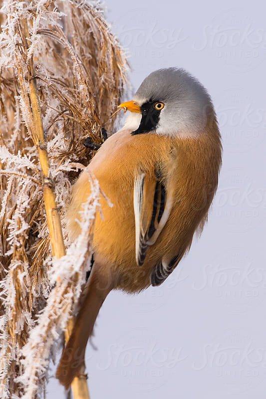 Bearded reedling (Panurus biarmicus) by Gabriel Ozon for Stocksy United
