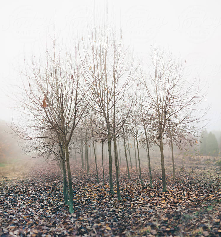 Desolated landscape: leafless trees and fog in italian countryside by Laura Stolfi for Stocksy United