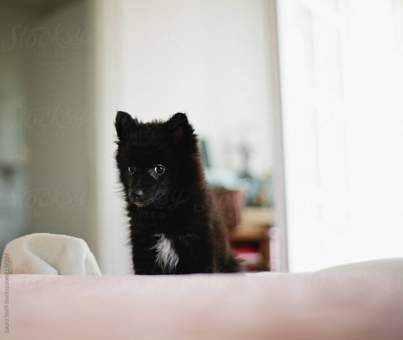 Black pomeranian puppy on bed by Laura Stolfi for Stocksy United
