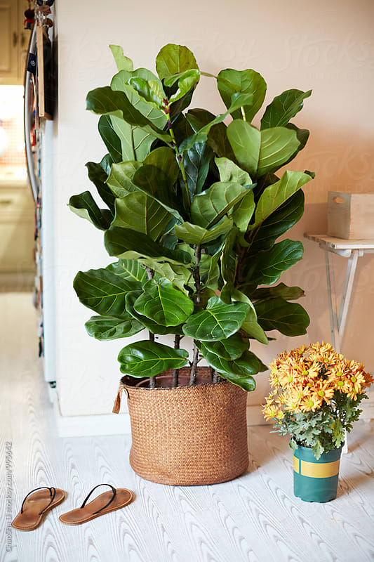 Green plants at home, Ficus lyrata by ChaoShu Li for Stocksy United