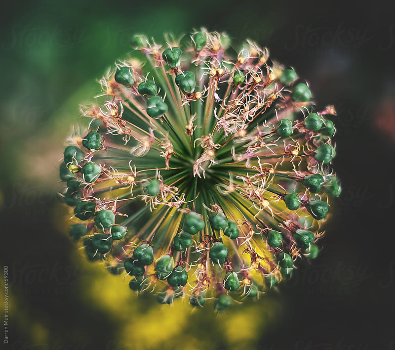 Seedpods on a round head flower. by Darren Muir for Stocksy United