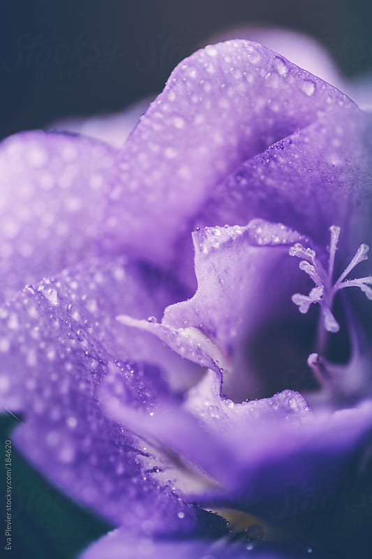 Water drops on petals. by Eva Plevier for Stocksy United