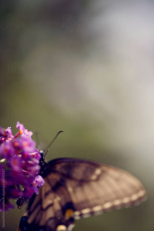 butterfly on butterfly bush by Samantha Wesselhoft for Stocksy United