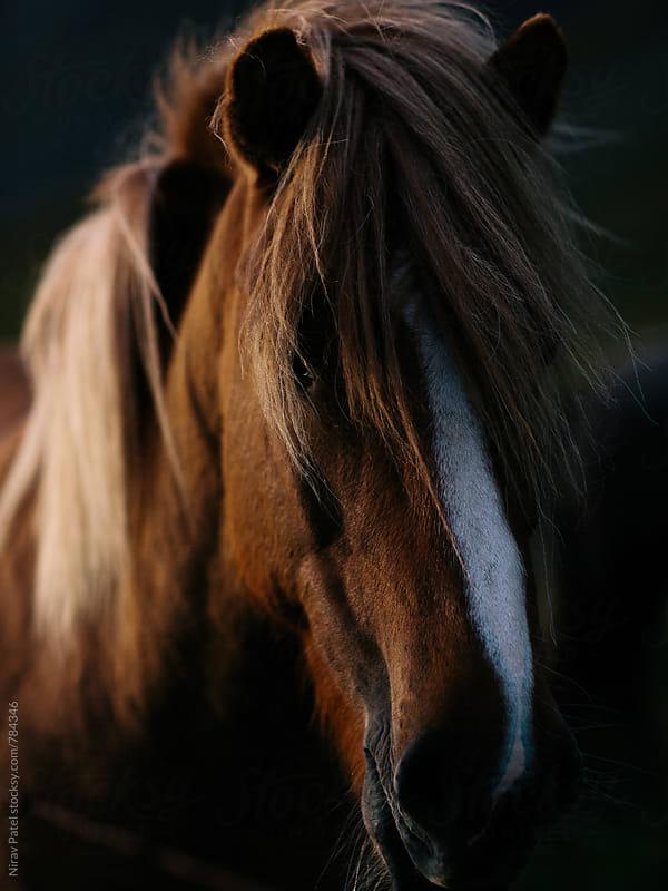 Icelandic horse by Nirav Patel for Stocksy United