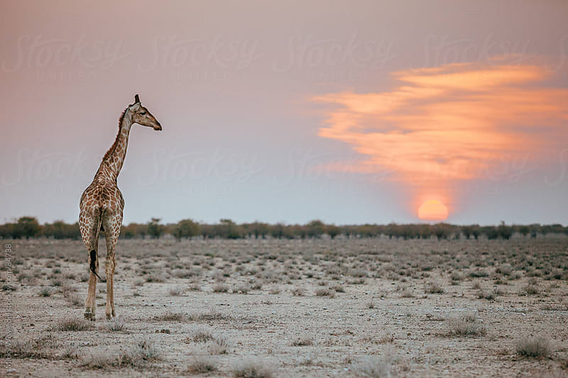 African Giraffe at sunset by Micky Wiswedel for Stocksy United