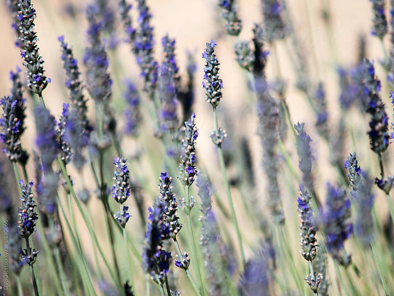 Flowering Lavender plants by DV8OR for Stocksy United