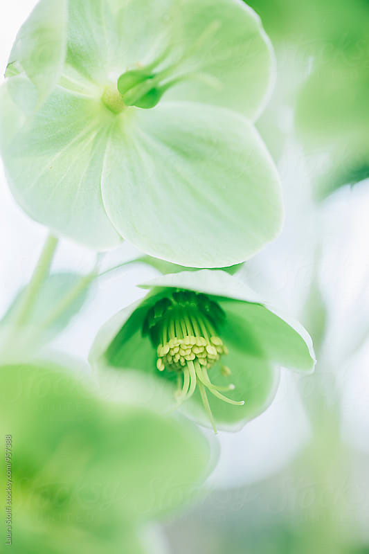 Extreme close up of Hellebore flowers and pistils by Laura Stolfi for Stocksy United