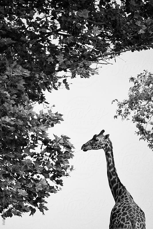 A monochrome image of a giraffe having a snack by kelli kim for Stocksy United