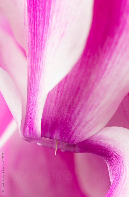 Cyclamen blossom, closeup by Mark Windom for Stocksy United