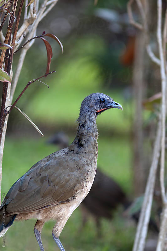 Chachalaca Bird Closeup by Brandon Alms for Stocksy United