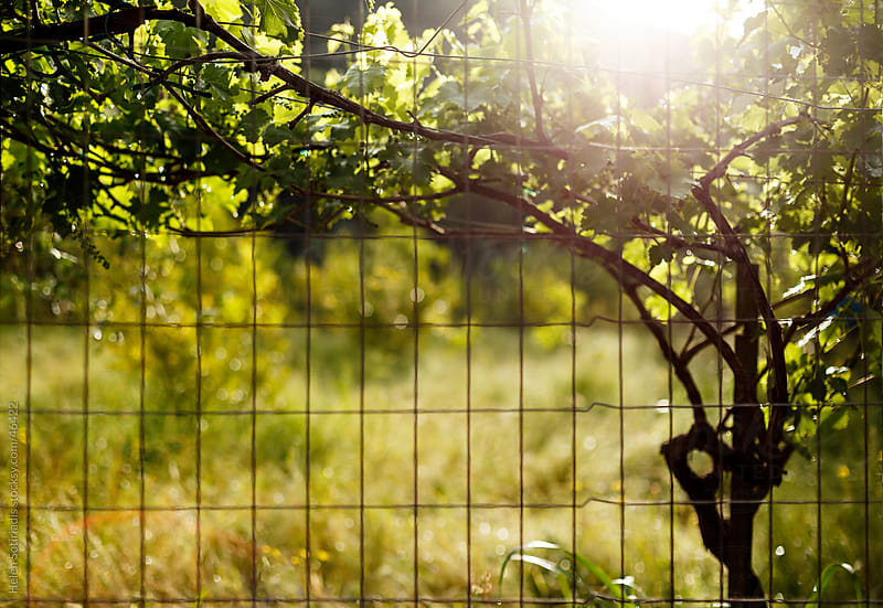 A grapevine behind a fence in the sun by Helen Sotiriadis for Stocksy United