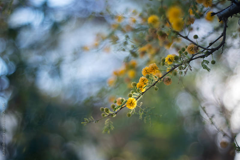 Fuzzy yellow blooms on a branch in soft sunshine by Rachel Bellinsky for Stocksy United