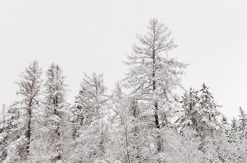 forest of pine trees in snow by Deirdre Malfatto for Stocksy United