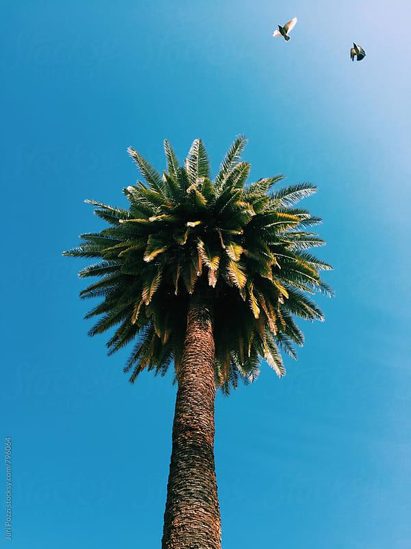 tall palm tree by Juri Pozzi for Stocksy United