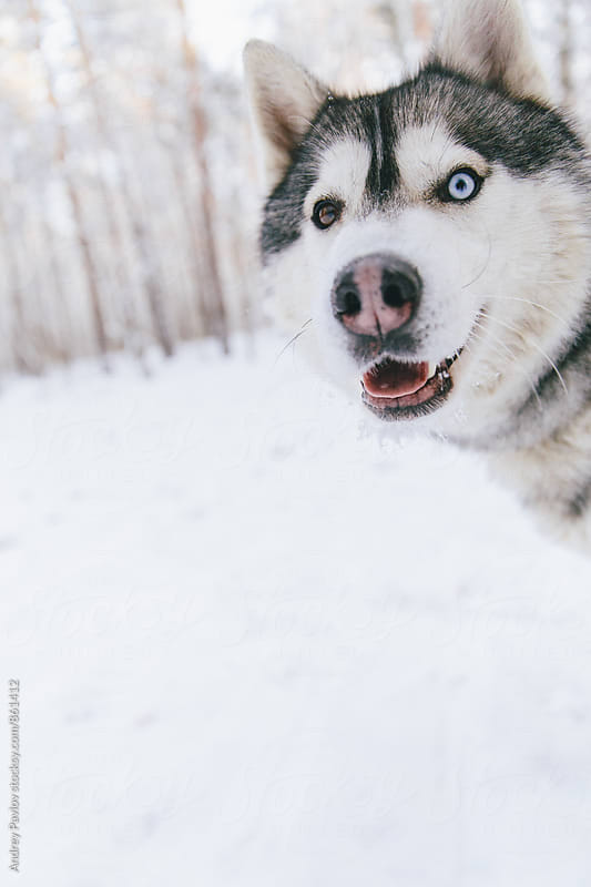 Close-up of surprised husky  by Andrey Pavlov for Stocksy United