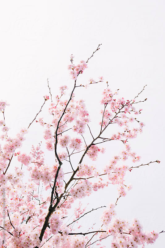 Pink Spring Blossoms by Ronnie Comeau for Stocksy United