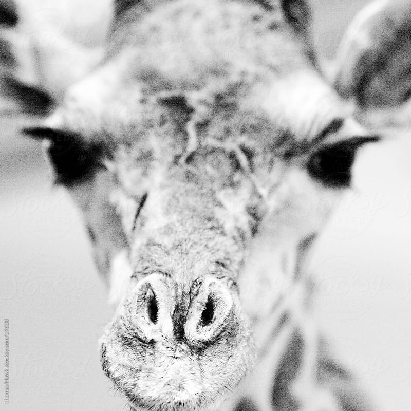 giraffe taxidermy by Thomas Hawk for Stocksy United