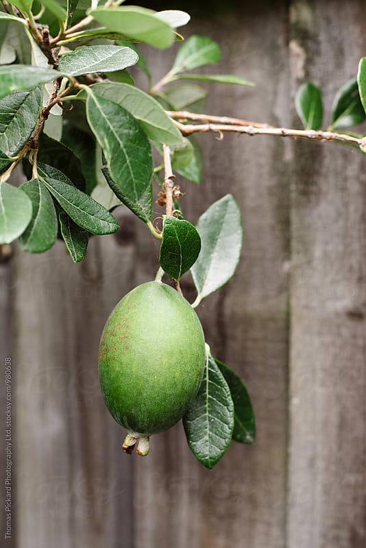 Feijoa fruit hanging on tree, New Zealand. by Thomas Pickard Photography Ltd. for Stocksy United