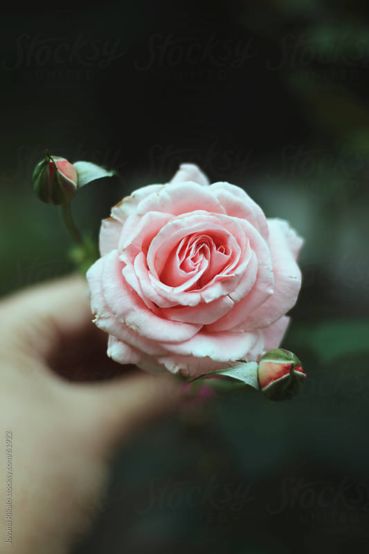 Pink Rose Bloom by Jovana Rikalo for Stocksy United