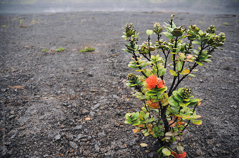 The beautiful ohia lehua growing in the lava field by Emmanuel Hidalgo for Stocksy United