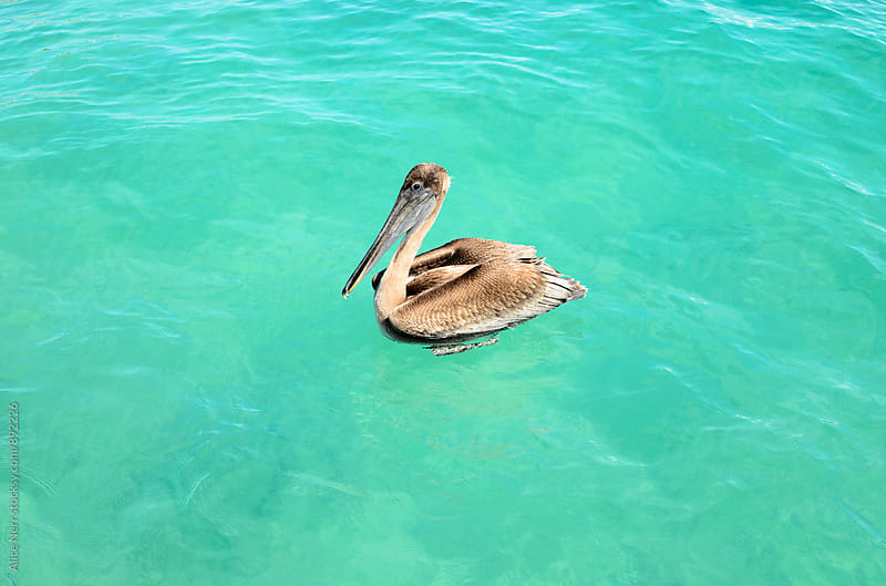 Pelican female swimming in transparent waters of Caribbean sea by Alice Nerr for Stocksy United