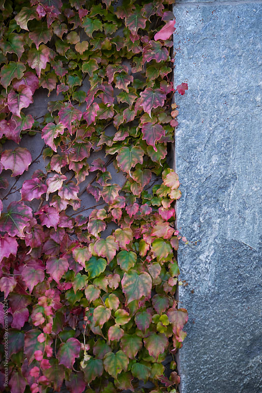 Autumn leaves against a stone wall by Rowena Naylor for Stocksy United
