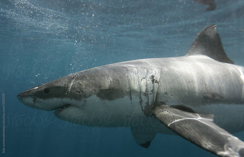 Great White Shark by Nat sumanatemeya for Stocksy United