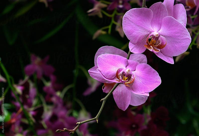 pink orchids by ALAN SHAPIRO for Stocksy United