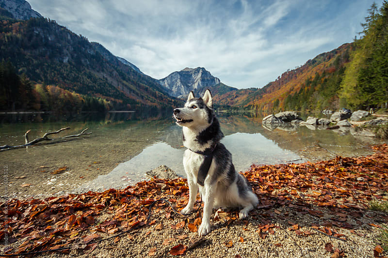 husky is sitting in an autumnal landscape scenery by Leander Nardin for Stocksy United