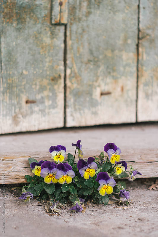 Flowers growing under the front door of a house by Aleksandra Jankovic for Stocksy United