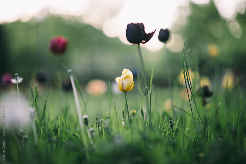 Tulips on a green grass background by Adrian Cotiga for Stocksy United