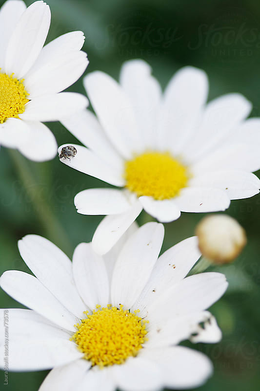 Tiny insect walking on giant daisy petal by Laura Stolfi for Stocksy United