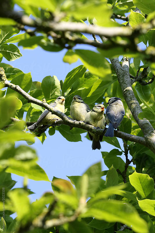 Blue tit family by Marcel for Stocksy United