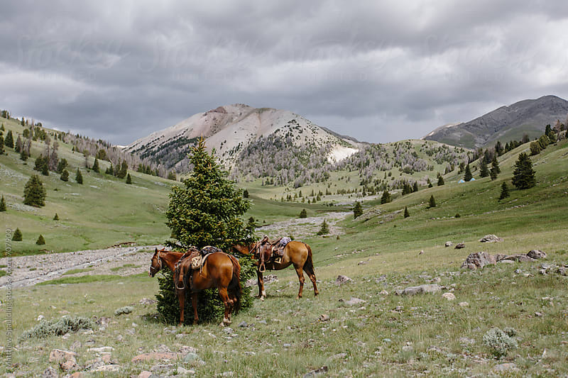 Horses tied to tree in Rocky Mountains by Matthew Spaulding for Stocksy United