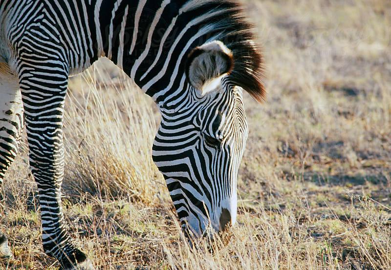 Common zebra or Burchell's zebra (Equus burchelli), Masai Mara National Reserve, Kenya, East Africa, Africa  by Gavin Hellier for Stocksy United