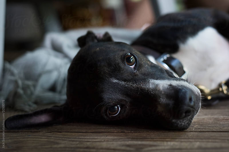 Cute Black Dog Laying On It's Side And Looking At Camera by Jack Sorokin for Stocksy United