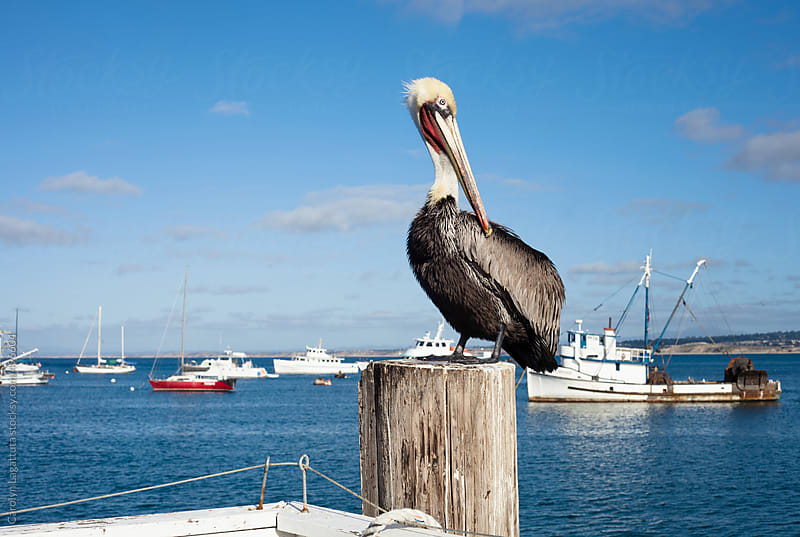 Pelican sitting on the dock in the harbor by Carolyn Lagattuta for Stocksy United