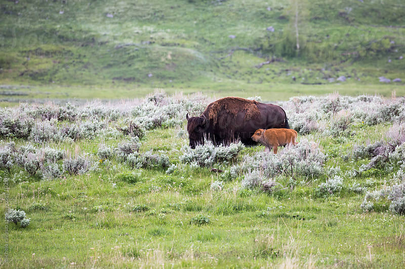 Bison with baby in the nature by michela ravasio for Stocksy United