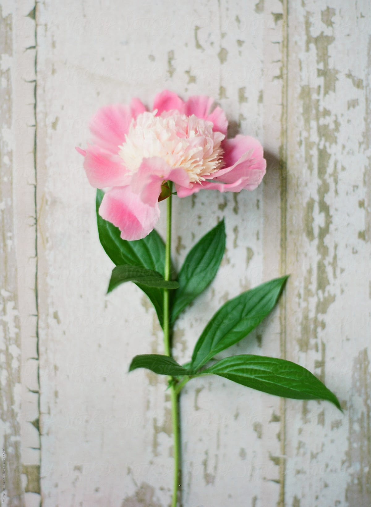 Stock Photo Single Stems Of Pink And White Peony Flowers And Blooms