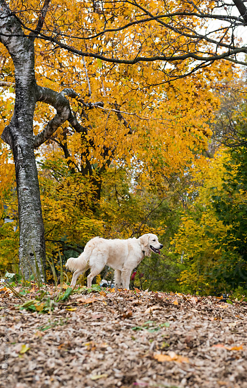 Dog and Autumn Leaves by Studio Six for Stocksy United