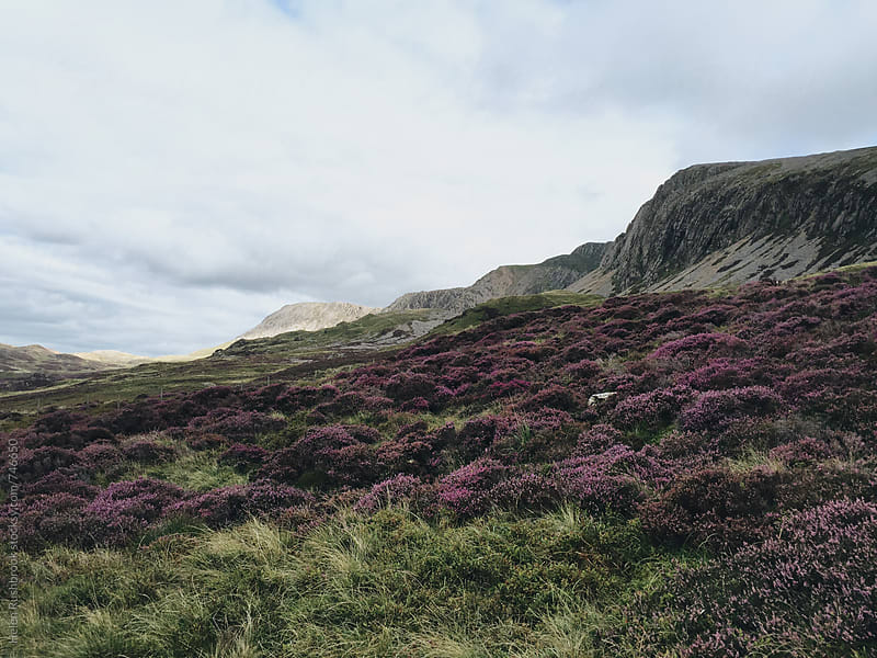 Heather in flower on a Welsh mountain by Helen Rushbrook for Stocksy United