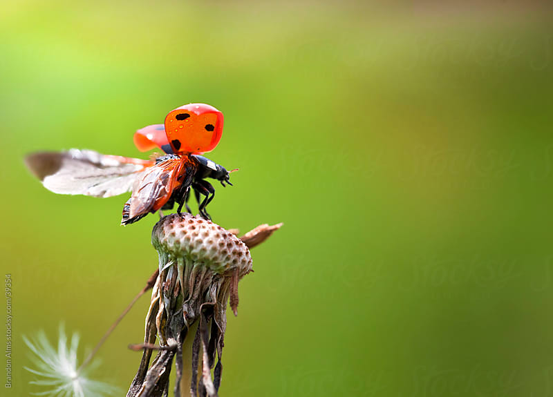 Ladybug Takeoff From Atop a Dandelion by Brandon Alms for Stocksy United